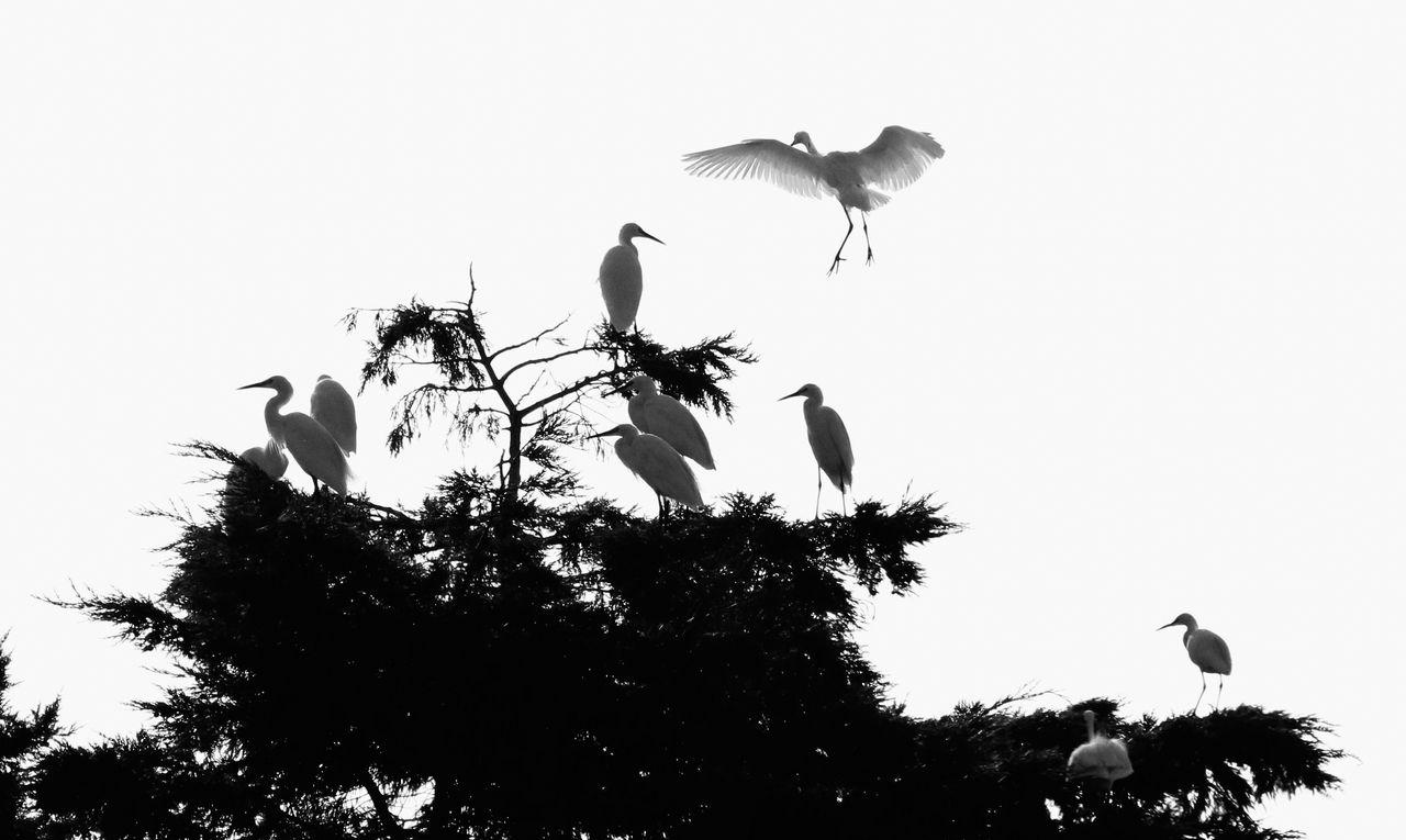 L'arbre aux Aigrettes...