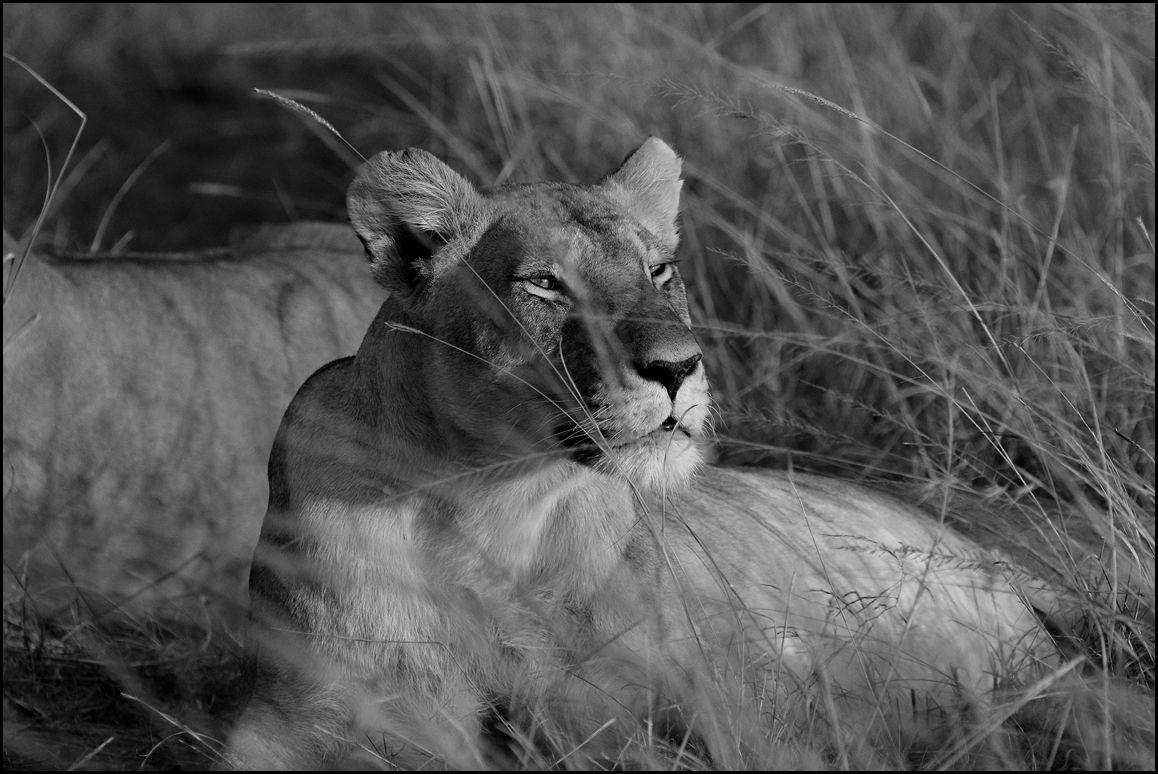 Masaï Mara (Septembre 2019)... Série en N&B