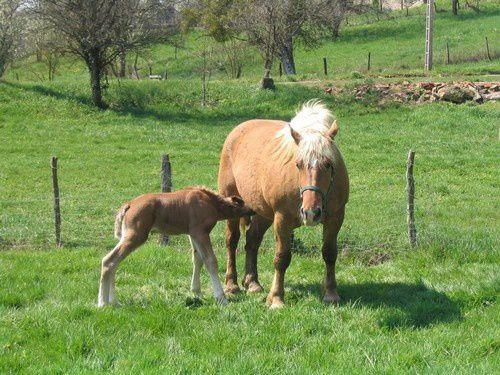 un beau poulain comtois et sa mère ...