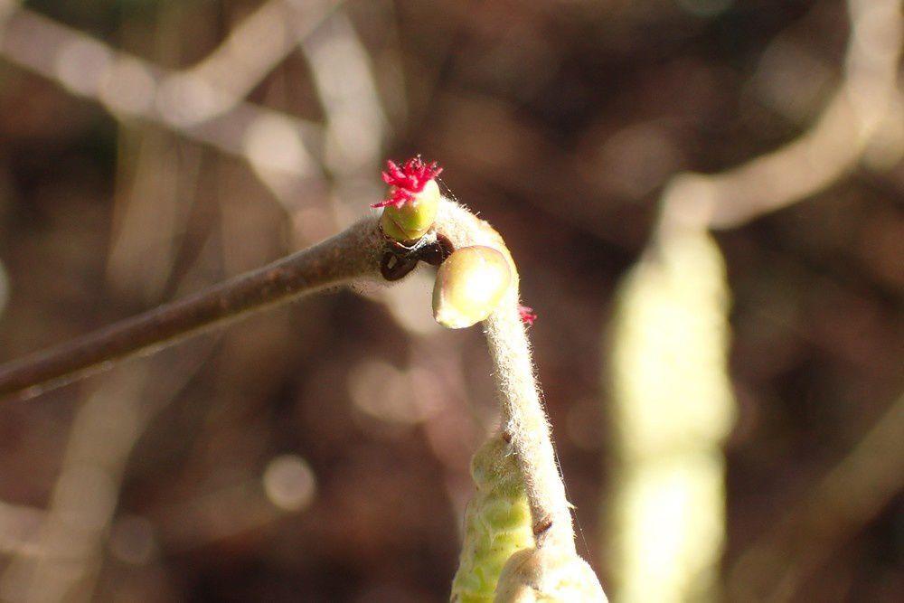 ... avec ce gros plan sur la fleur femelle.