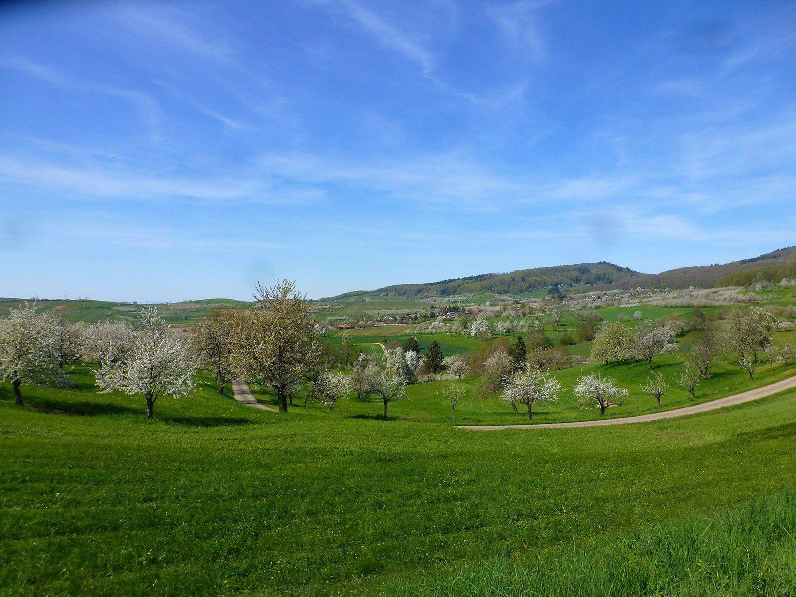 Sortie séniors, c'était le 18 avril les cerisiers du Markgräflerland