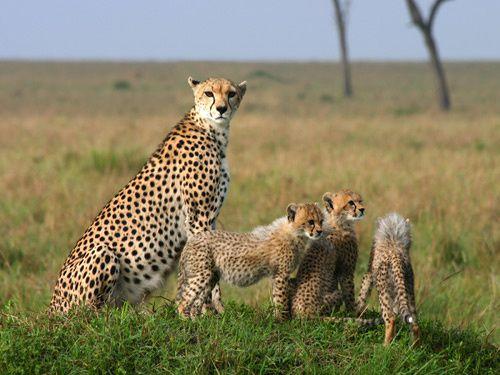 """KENIA: """"Juegos Olímpicos Masai"""" para salvar los últimos leones."""