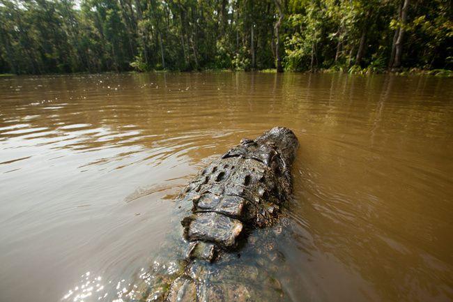 Caimanes y cocodrilos de Louisiana, sur de los Estados Unidos de América.- El Muni
