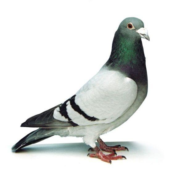 Tous les pigeons s'appellent Norbert