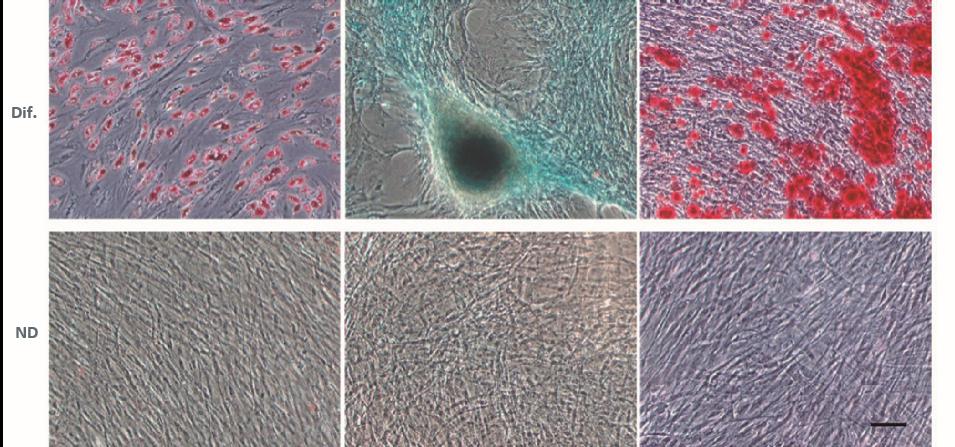 Complétées par un support adipogène, chondrogène ou ostéogène (Dif.), les cellules isolées du tissu adipeux se sont différenciées en lignées cellulaires correspondantes, tandis que les cellules n'ayant pas bénéficié de complément (ND) sont restées indifférenciées. Échelle = 100 μm.