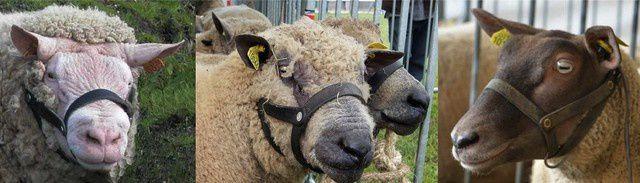 Moutons Cotentin, Avranchin et Roussin de la Hague