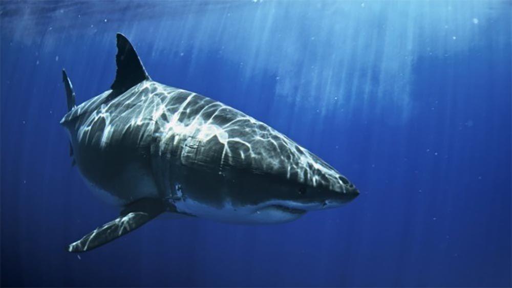 National Geographic Wild lance ce soir son « Shark Festival » avec une programmation spéciale sur les requins