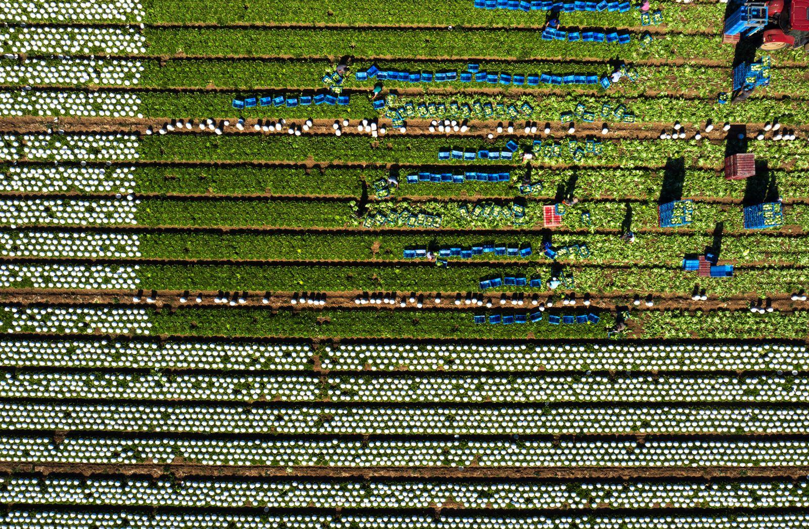 La récolte manuelle des salades bat son plein à la ferme Hardy de Sannerville. Photo aérienne François Monier, mai 2020