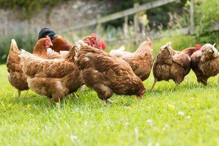 Guide pratique pour élever des poules