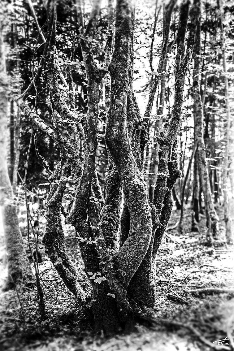 Tirages sur toile d'arbres en voie de disparition.