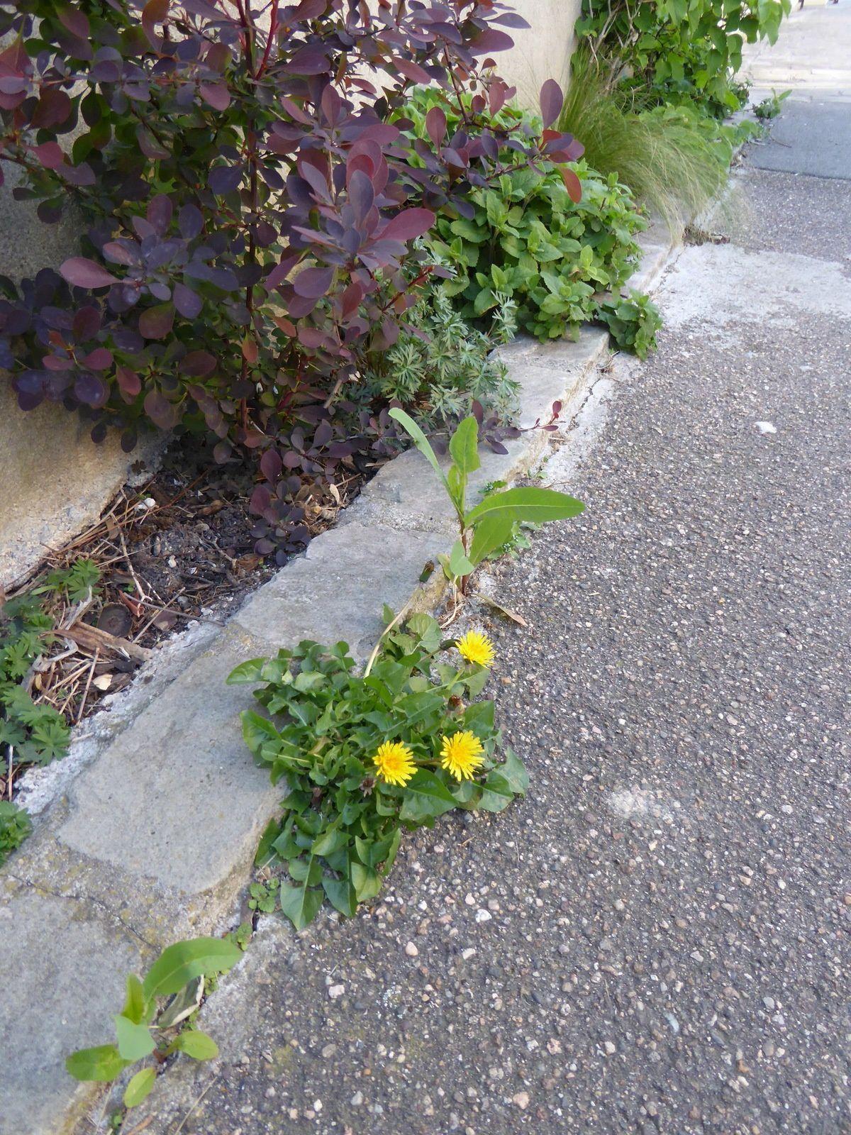la Dame de onze heures (ornithogale en ombelle) à la Cité Coligny et des fleurs de pissenlit rue de Lahire