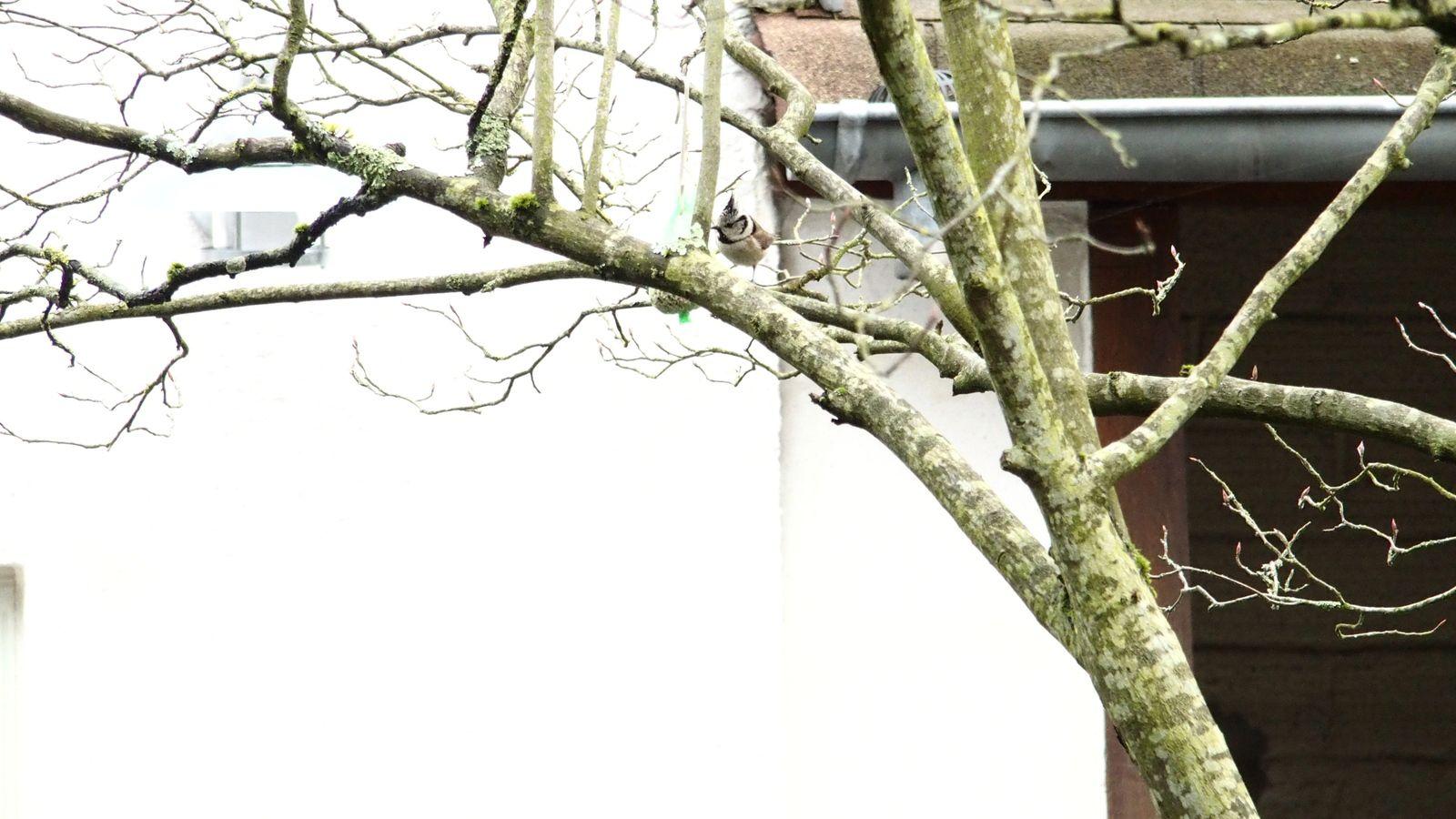 Mésange huppée, Orchidée (Ophrys abeille), Abeille domestique, Cétoine dorée, Papillon Flambé sur Seringa, Lézard des murailles, fleurs de la prairie fleurie rue de Patay