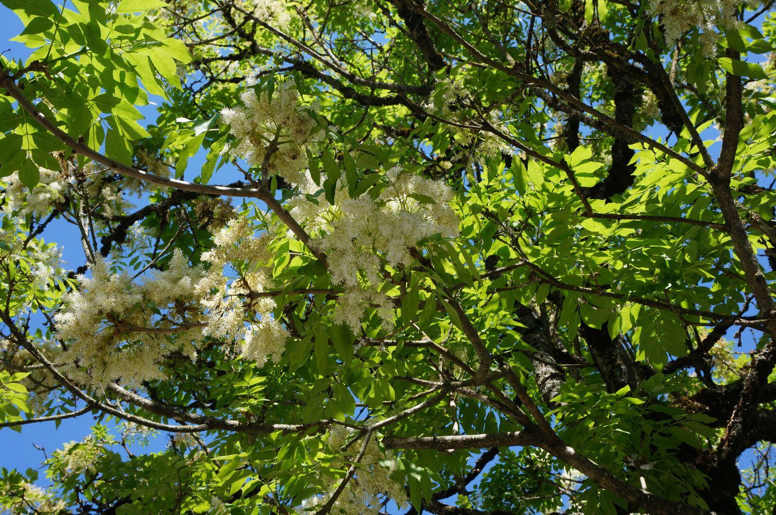 les 5 premières photos ont été prises aux Groues au mois d'avril lorsque la végétation était très colorée.Les deux dernières photos montrent les arbres de la Place de l'immobilière. C'est la première fois que nous prenons les Frênes à fleurs avec leurs houppes fleuries.