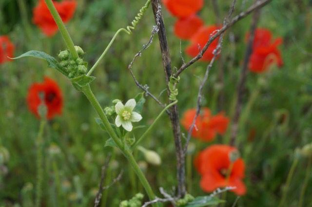 Bourdon butinant une fleur de coquelicot, au milieu des coquelicots, une fleur de Bryone dioïque