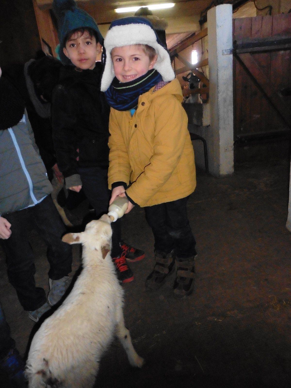 C'est l'heure du biberon pour le petit agneau!