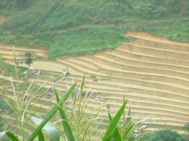 les bufles creusent les sillons pour semer le riz