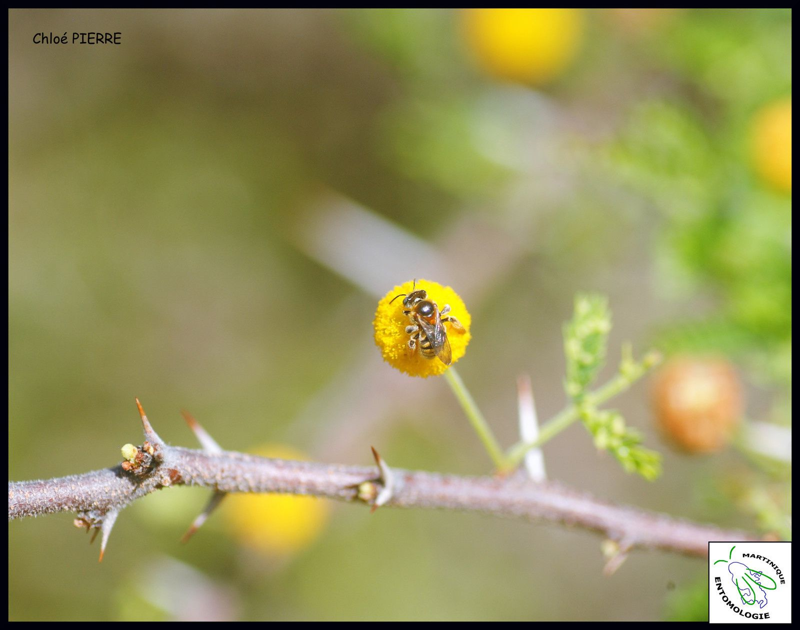 L'abeille Exomalopsis similis