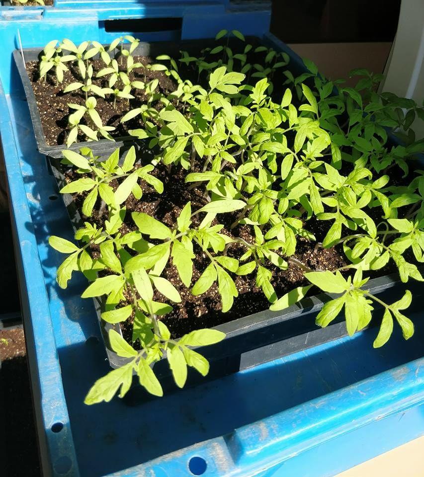 Les plants de tomate se préparent pour la saison 2018 !