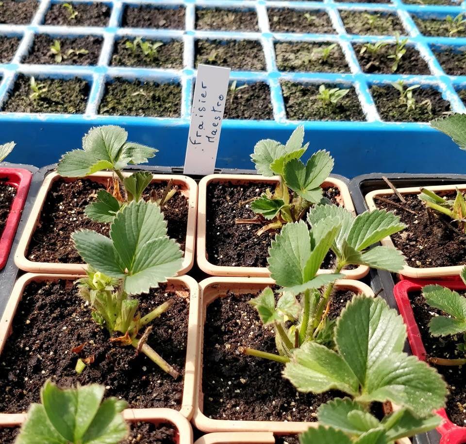 Plants de fraisiers en préparation