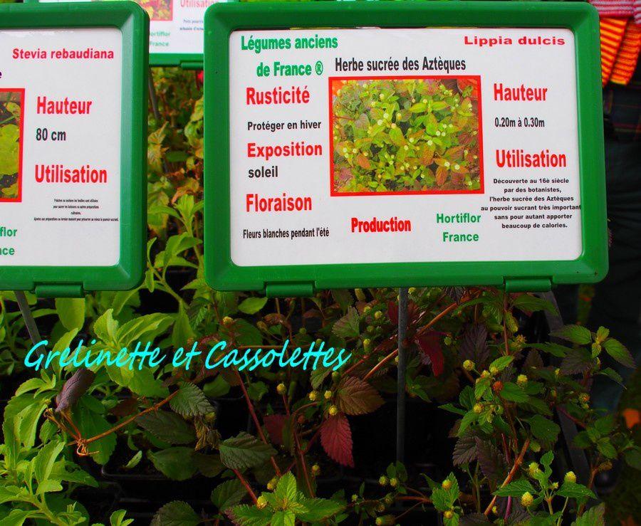 Herbe sucrée des Aztèques, Lippia dulcis
