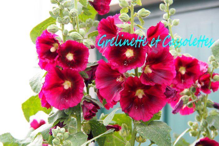 Le Rose Facile au Jardin