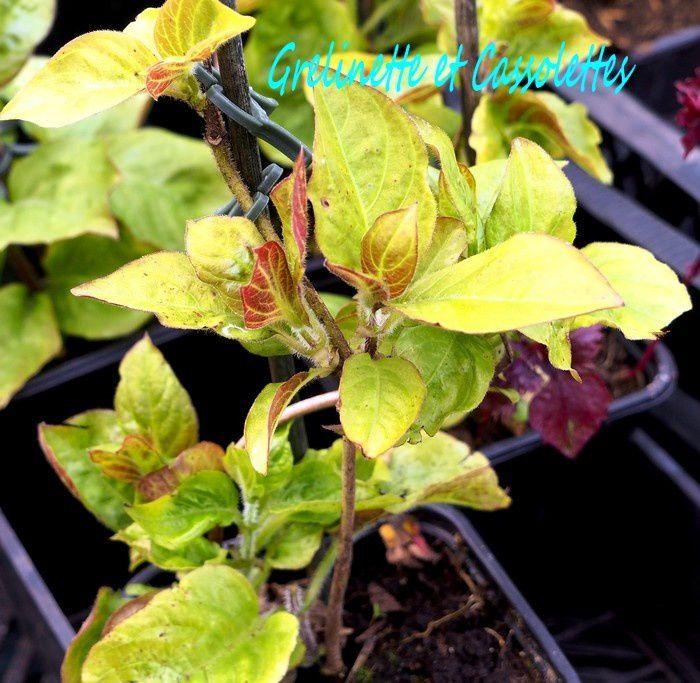 Paederia Lanuginosa, la Plante Fromage