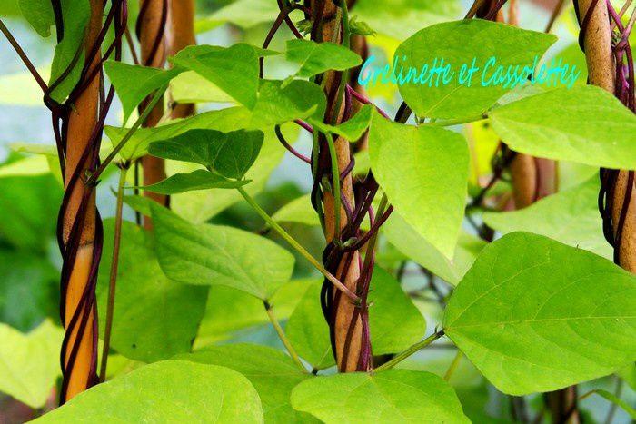 Haricots Carminat à Rame, cosse violette, Sanrival