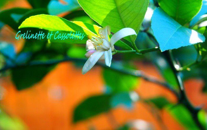 Fleurs de Goji et de Citron Meyer pour la Saint Fiacre