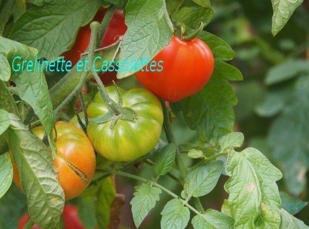 Stratégie Tomates et Prolonger les récoltes de Tomates en Septembre