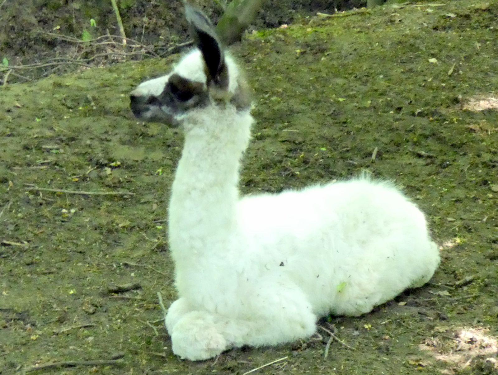 janvry village préféré des lamas