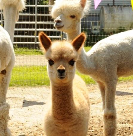 1° salon internationale des camelidés (suite)  : d'un continent a l'autre