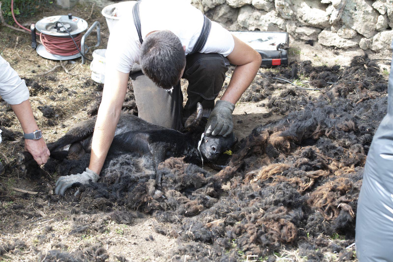 a janvry ,les gauchos sont au travail,le premier salon international des camelidés mais pas que ....