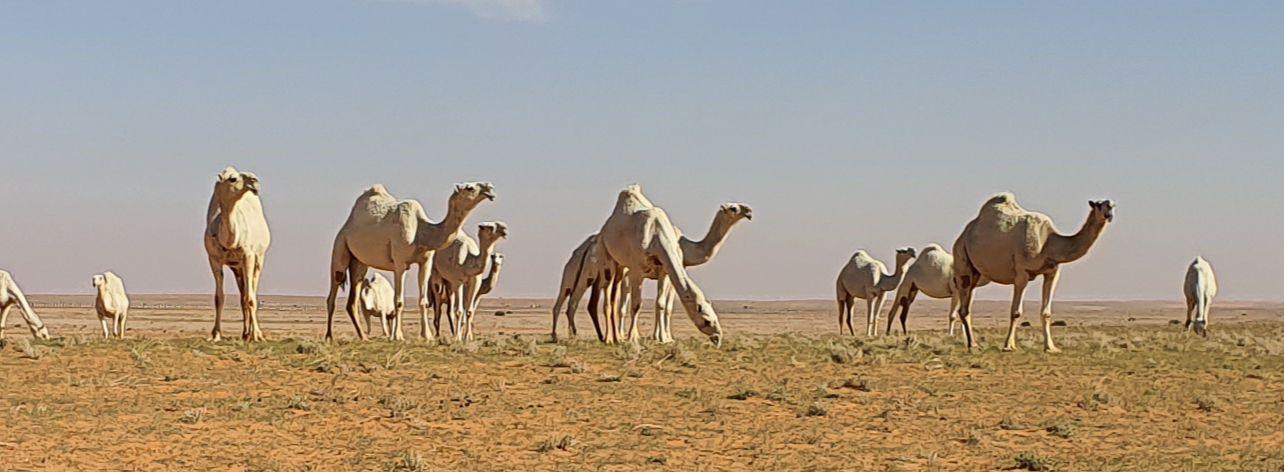 arabie saoudite,du sable,des éléveurs  et des dromadaires