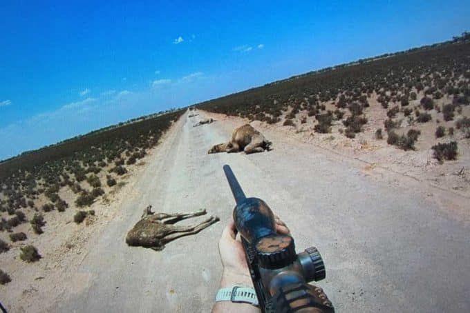 chameaux d'Australie