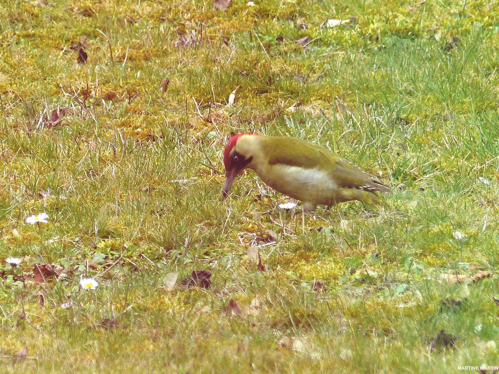 Pic vert et oiseaux dans un jardin cergyssois