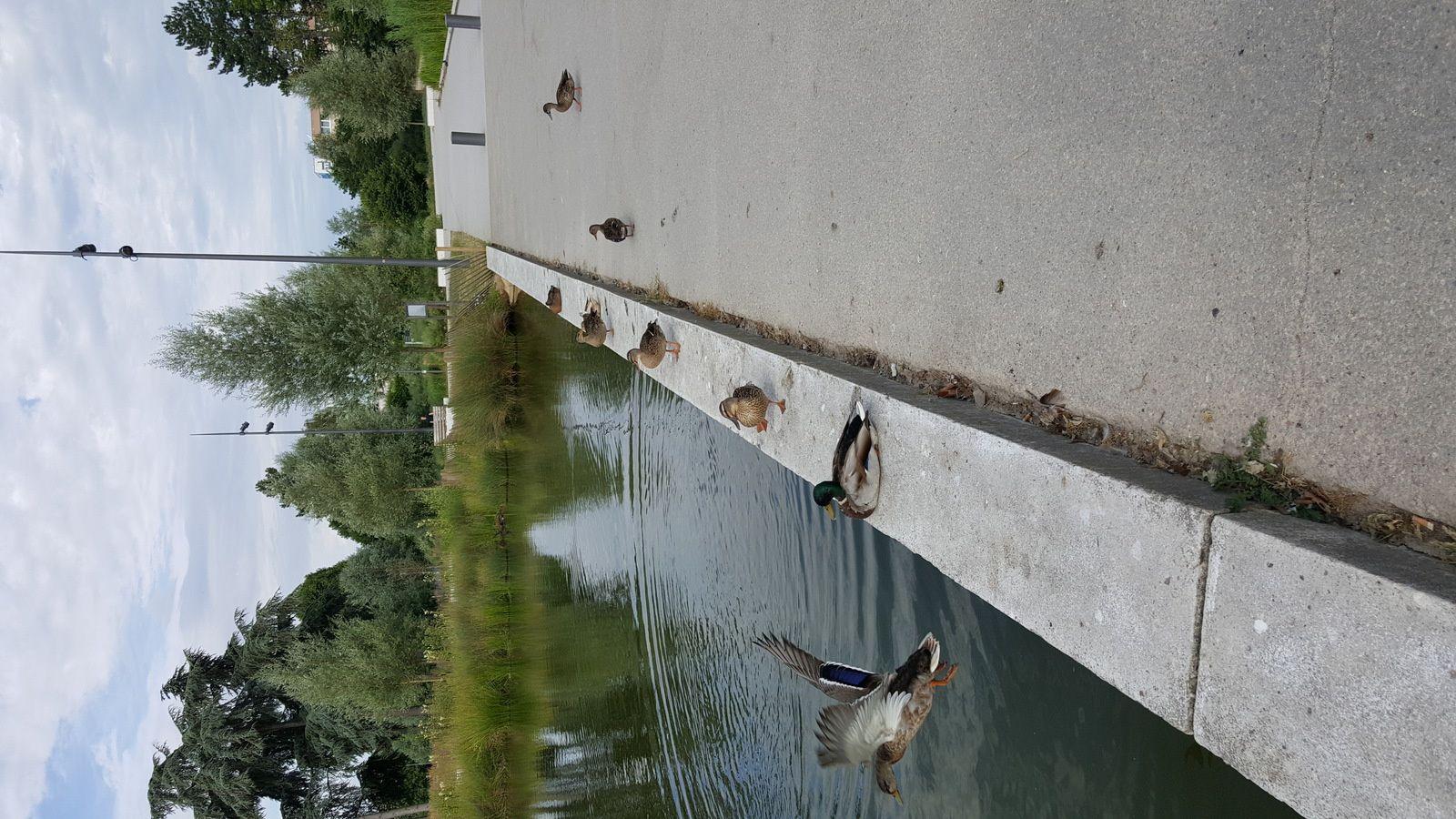 Canards et canetons dans le Parc de la Préfecture
