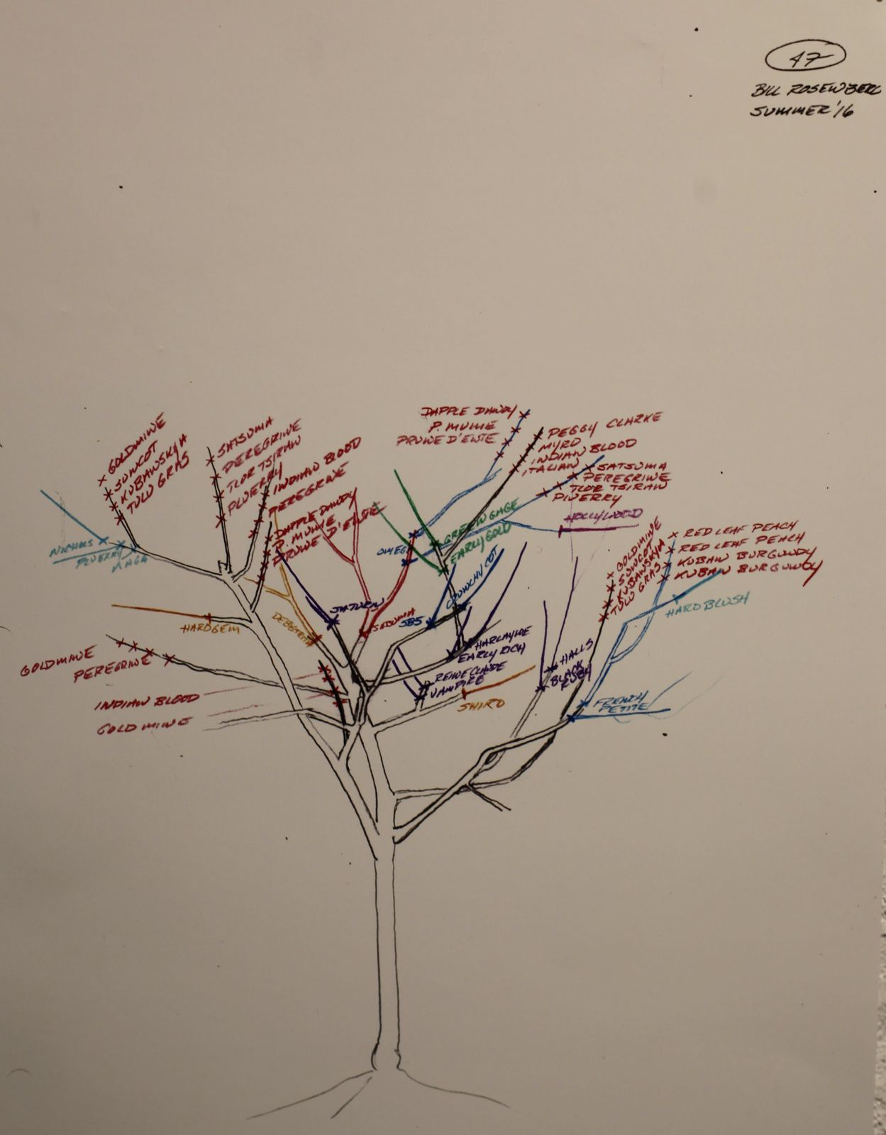 "Dessin ""Tree of 40 fruit"", été 2016 de Sam VAN AKEN - Courtesy Thierry Carpentier © Photo Éric Simon"