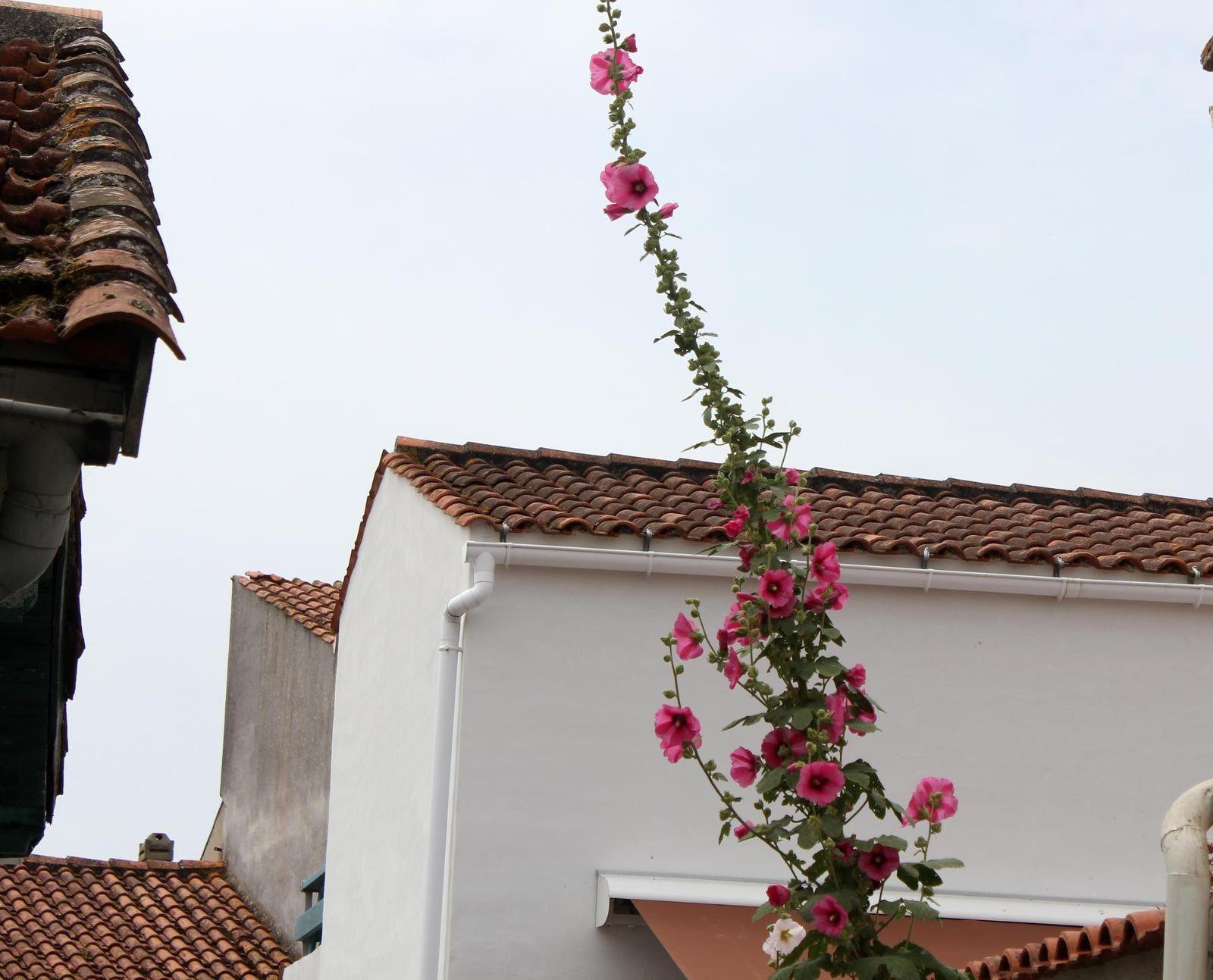 Roses trémières. Oléron. Photos. Poème