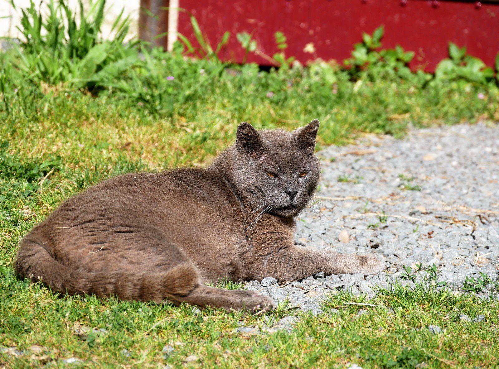 Grisou le chat en liberté, gardien du refuge!