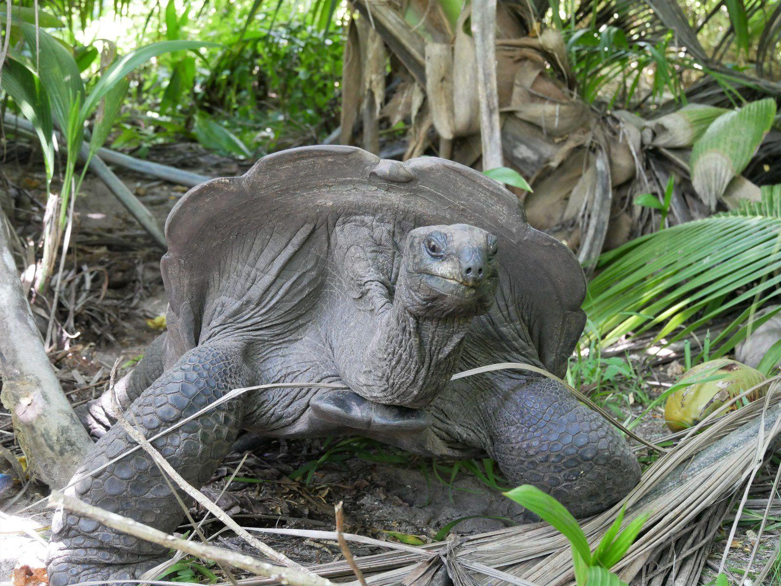 Tortues géantes des Seychelles. Île Silhouette.