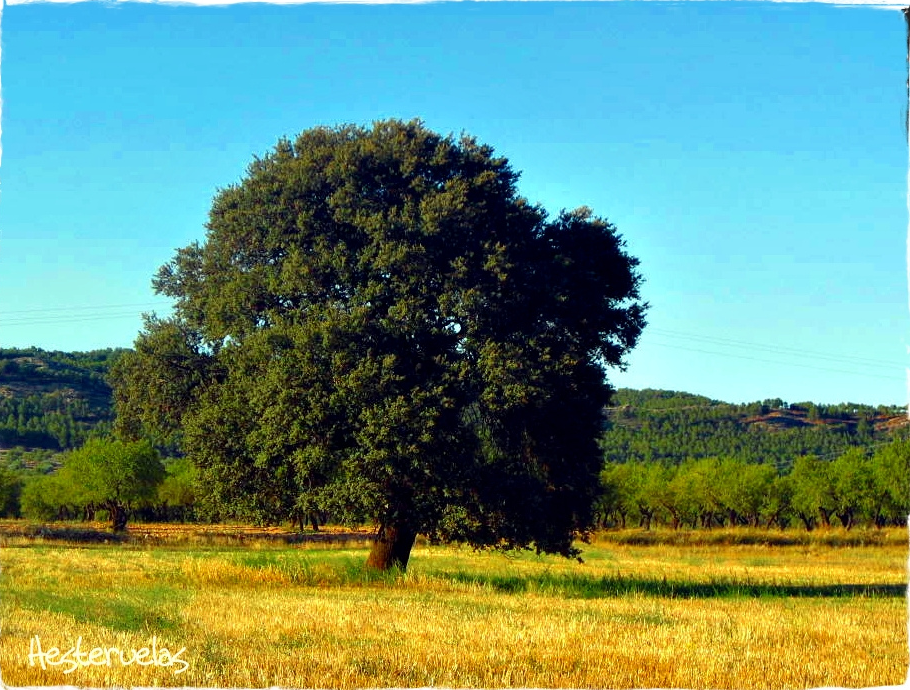 Quel est votre arbre ? Le chêne