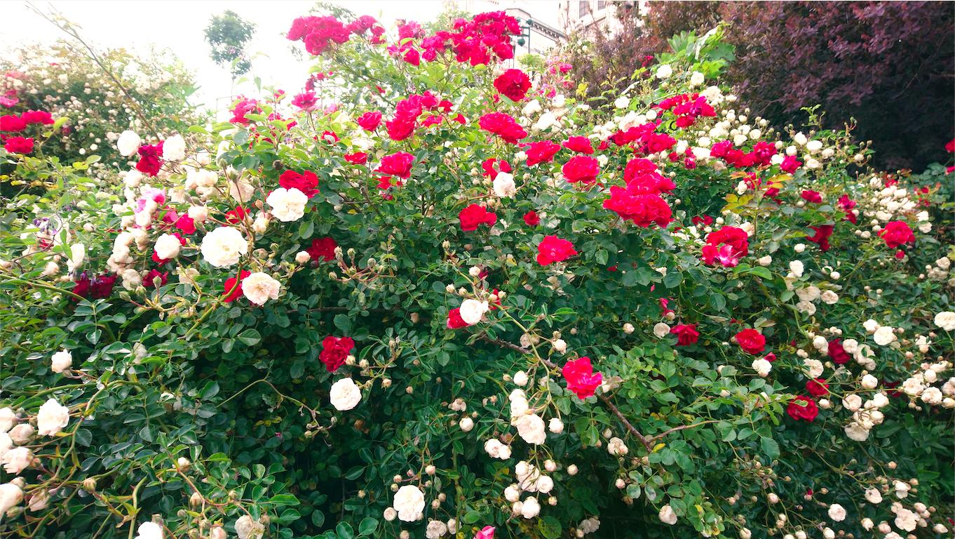 Montmart'roses, Roses Montmartroises.