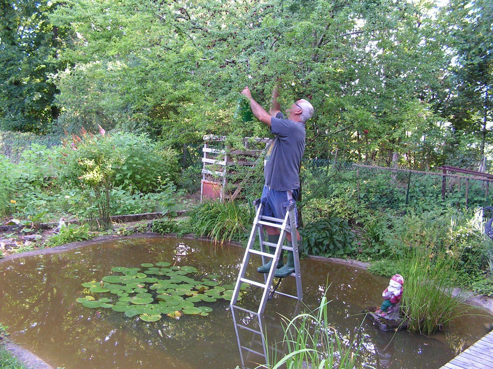 Mon mari en train de cueillir les prunes : étape périlleuse n'est-ce pas !!!
