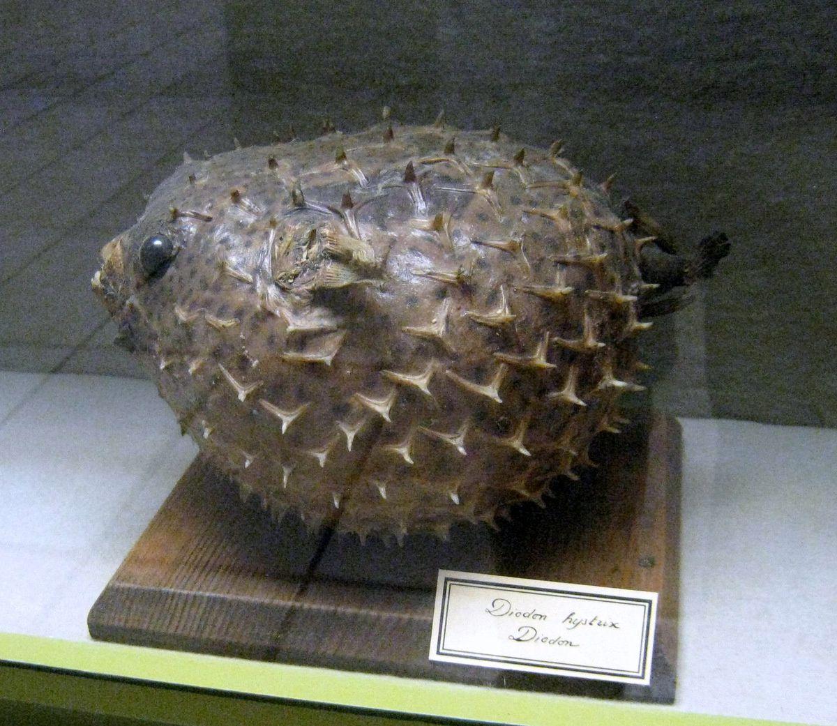 Diodon (diodon hystrix), musée Pierre Gassendi