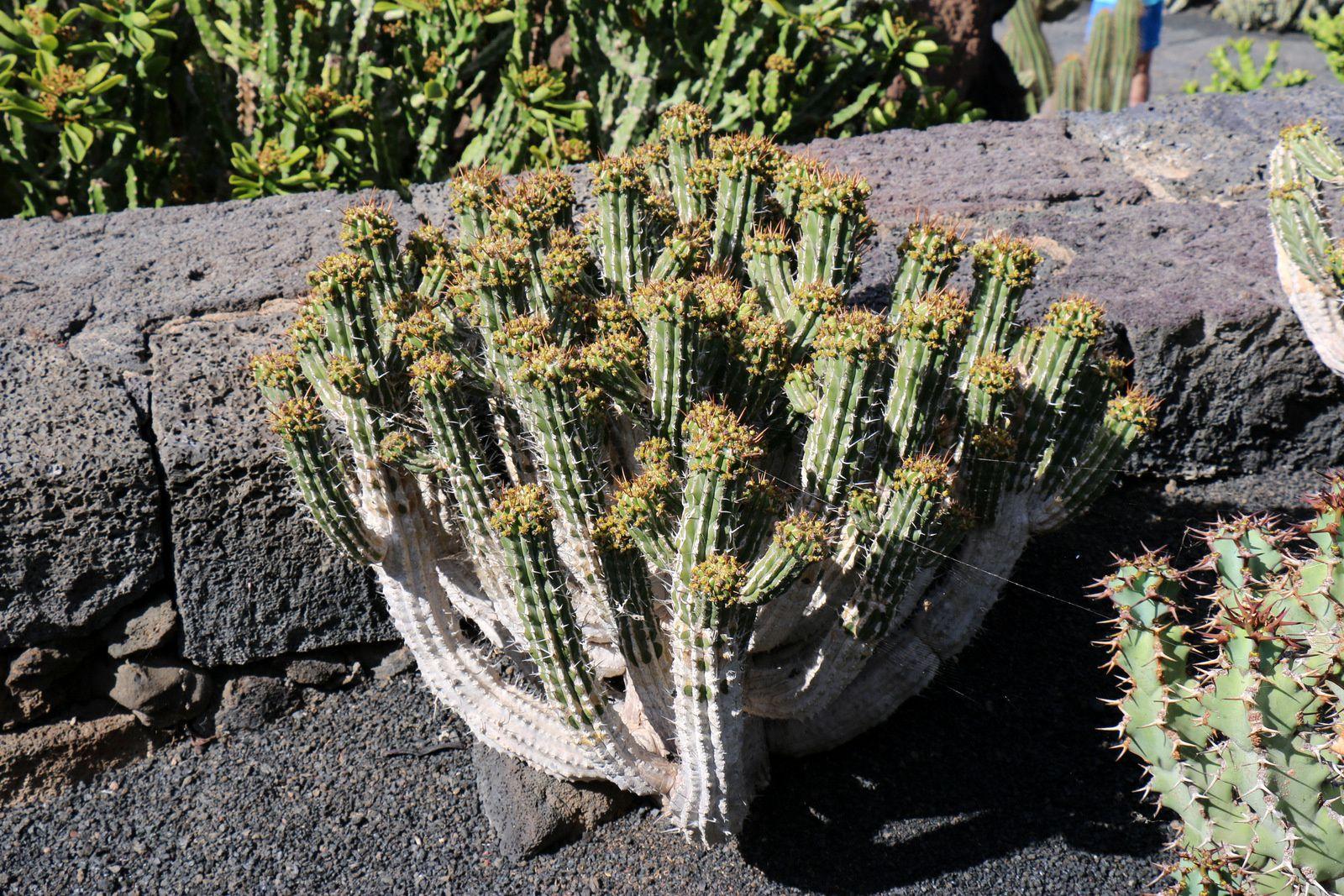 Euphorbia Handiensis, jardin de cactus, Lanzarote (Canaries)