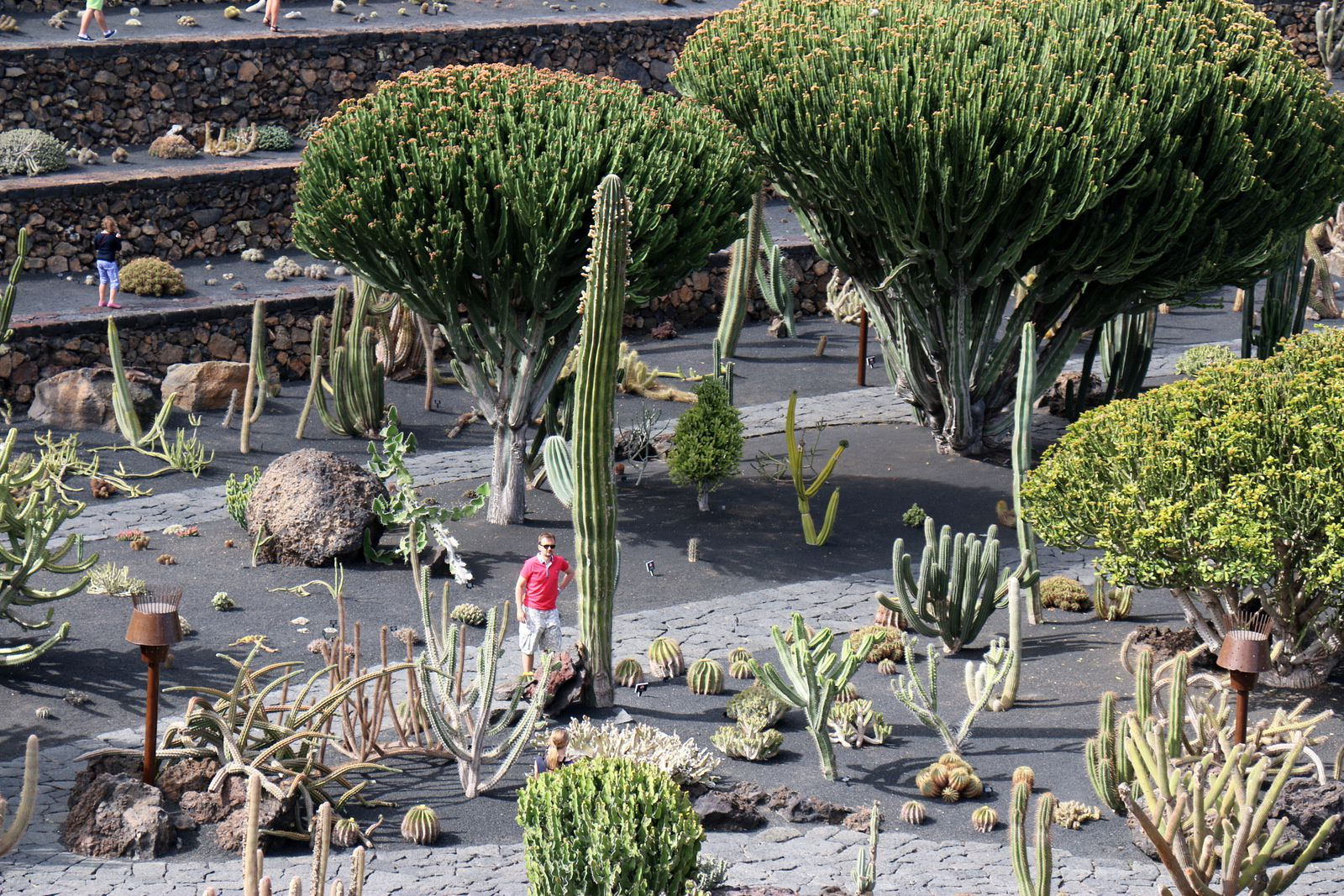 Browningla Hertlingiana, jardin de cactus (Lanzarote, Canaries)