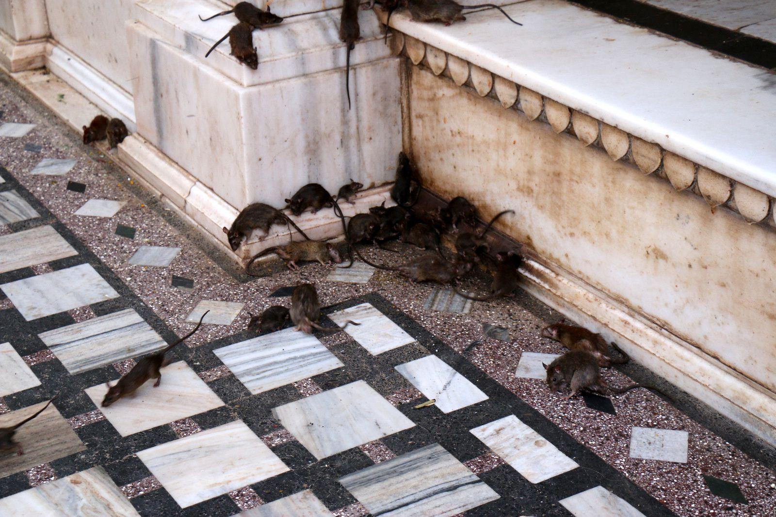 Les rats du temple de Karni Mata, Deshnoke (Inde)