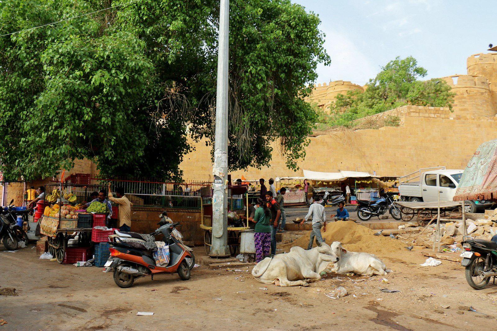 Bovins et porcs dans les rues de Jaisalmer