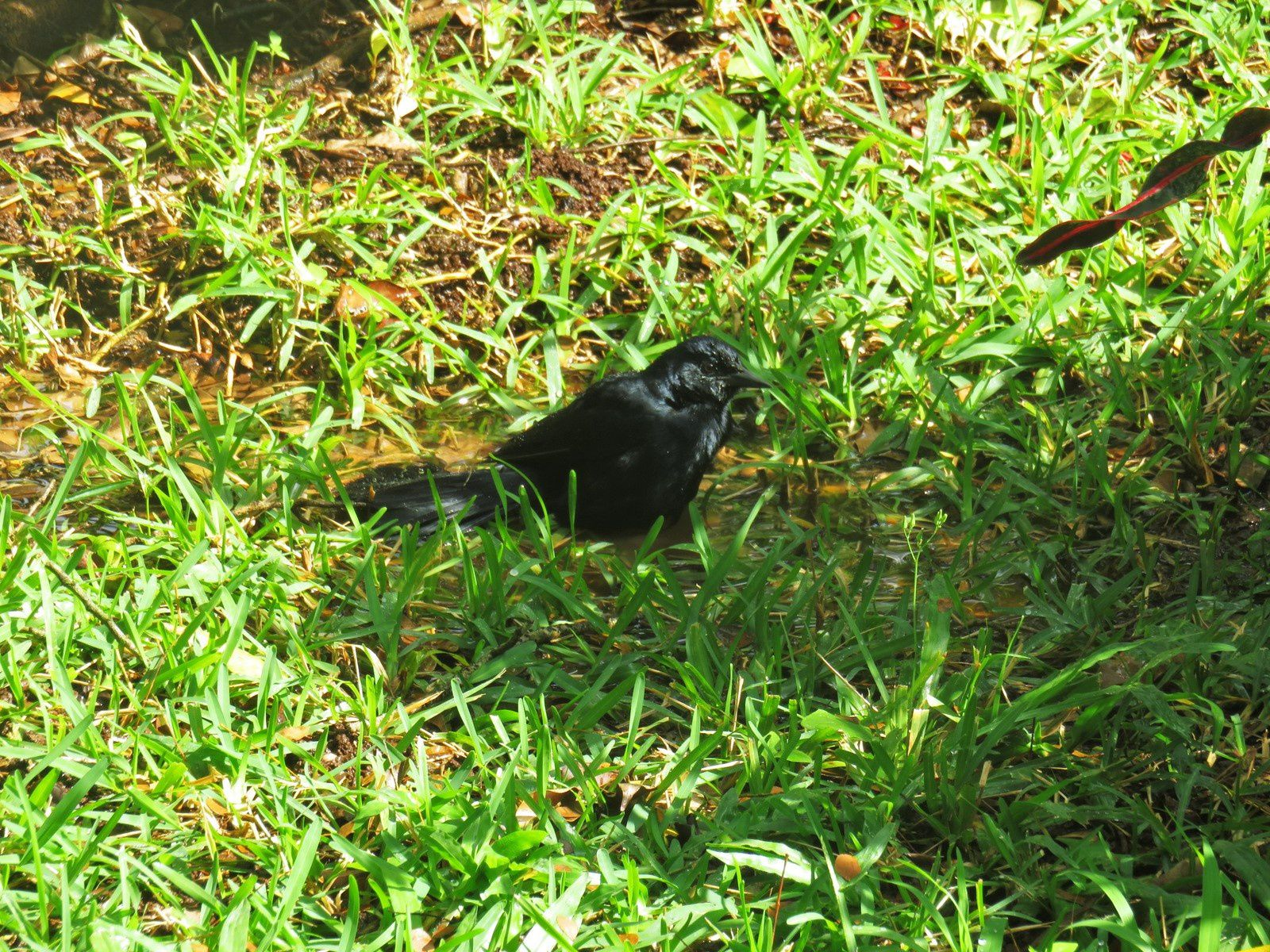 Oiseau noir au chant strident