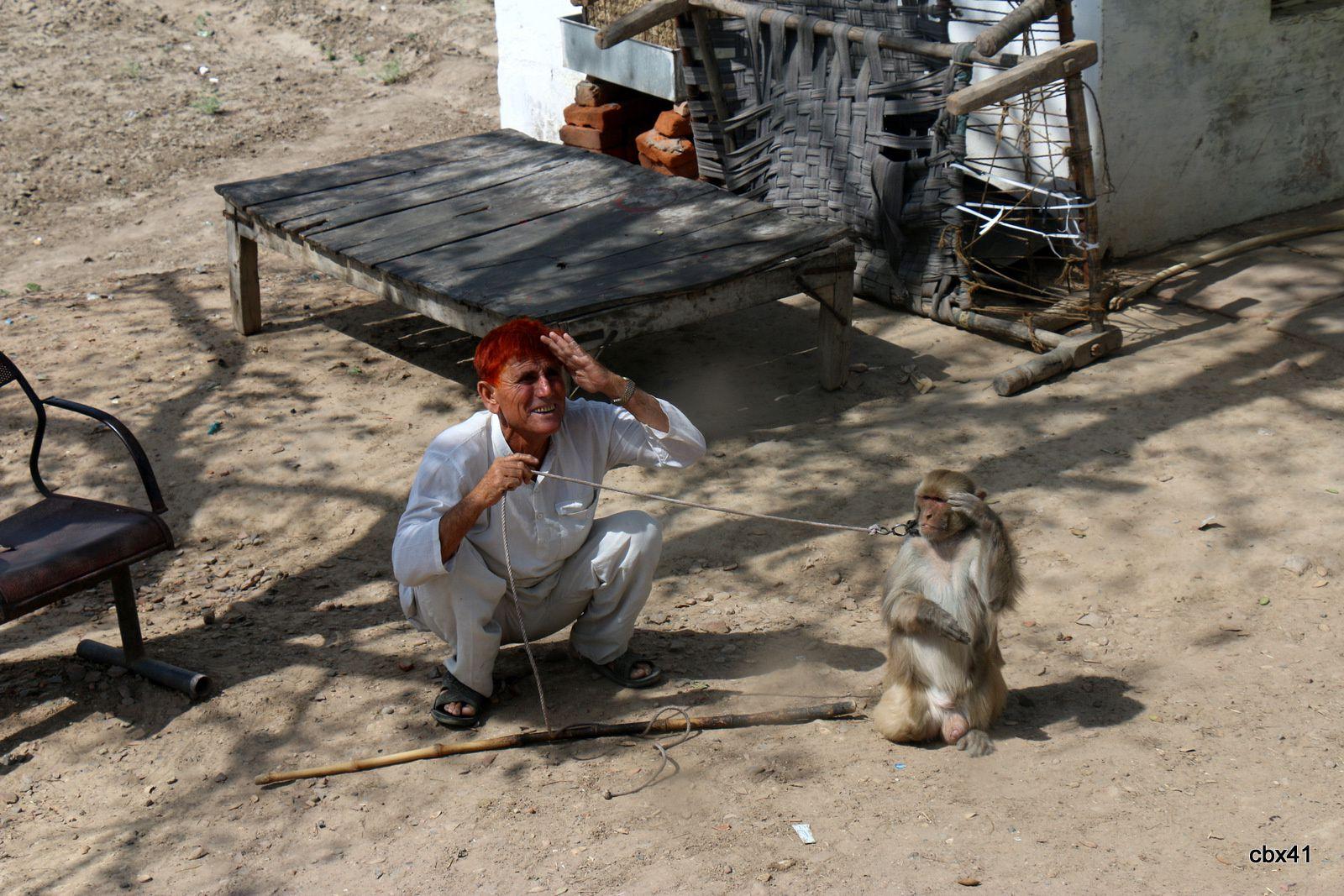 Macaque rhésus sur la route du fort d'Agra, Uttar Pradesh (Inde).